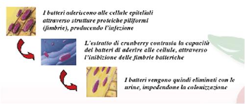 Cranberry per la prevenzione delle infezioni urinarie