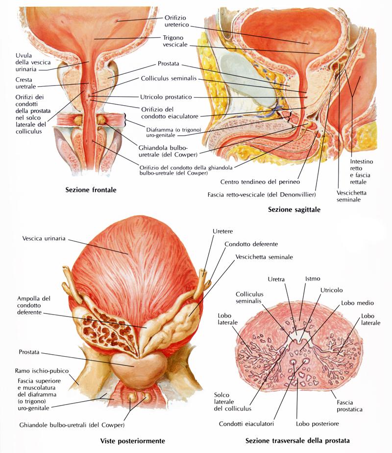 Anatomia della prostata