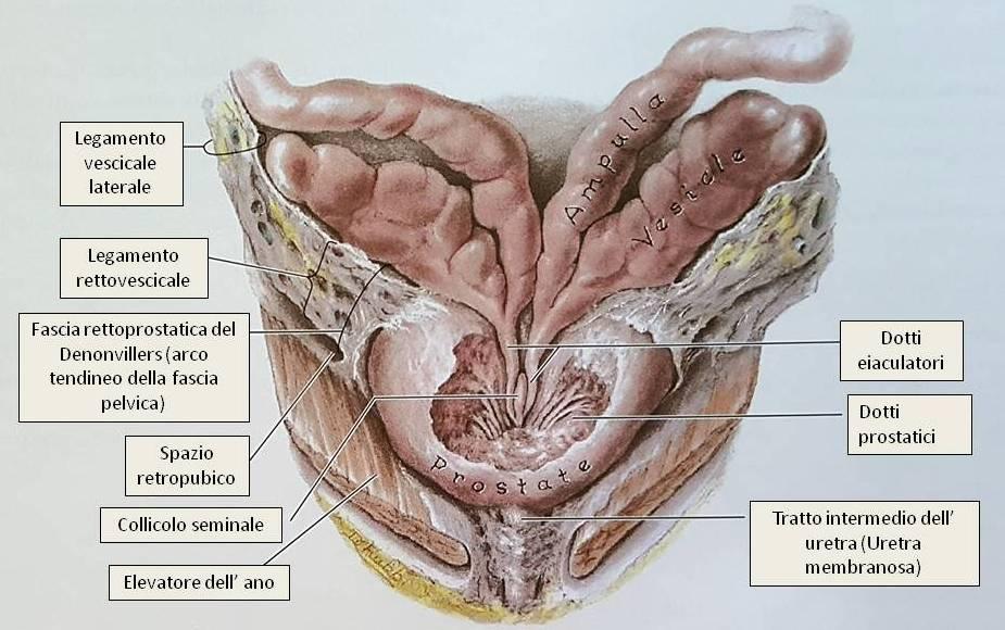 Cos'è la prostata