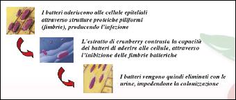 Estratto di cranberry per le infezioni alle vie urinarie