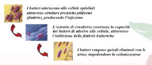 Cranberry per le infezioni alle vie urinarie